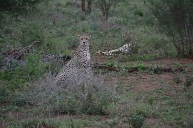 Een cheeta tijdens een ochtendsafari door het Krugerpark. In het Krugerpark, dat zo groot is als tweederde van Nederland, leven nog slechts 300 cheeta's.