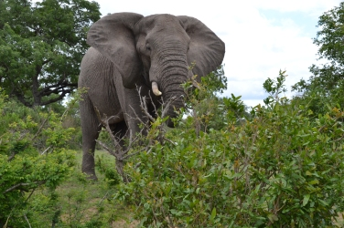 Een Afrikaanse olifant op slechts enkele meters van onze huurauto.