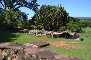 Opstaan met zebra's in de achtertuin in het Mlilwane-reservaat.
